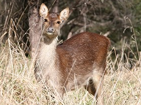 NZ,  doe, Te Uruwera deer